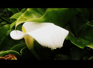 arum lily2