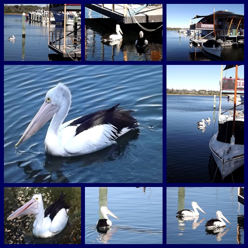 pelicans lakes entrance