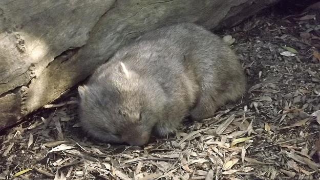 Baby wombat1