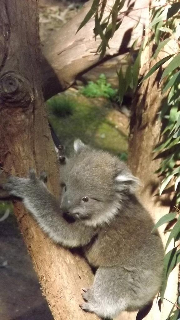 Koala Baby4